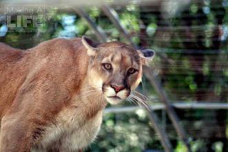 Cougar Safari Niagara