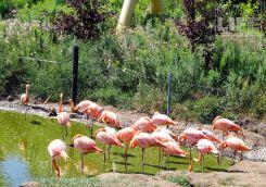 Flamingos Safari Niagara