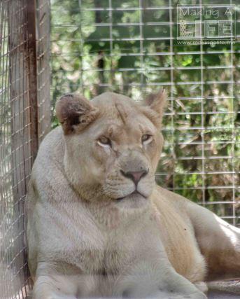 Lion Safari Niagara