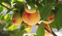 Peaches Making A Life