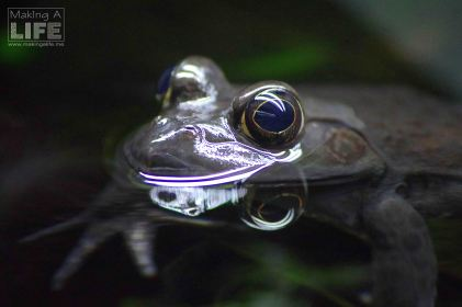 vanaqua_frogs_making-a-life-3