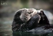 vanaqua_otter_making-a-life-2