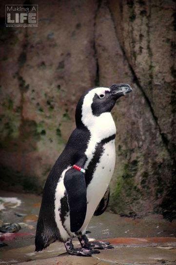 vanaqua_penguin_making-a-life-1
