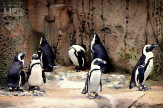 vanaqua_penguin_making-a-life-2