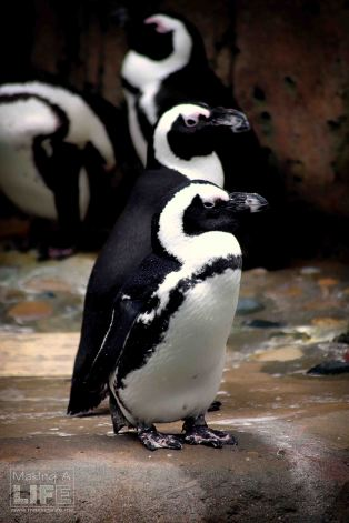 vanaqua_penguin_making-a-life-3
